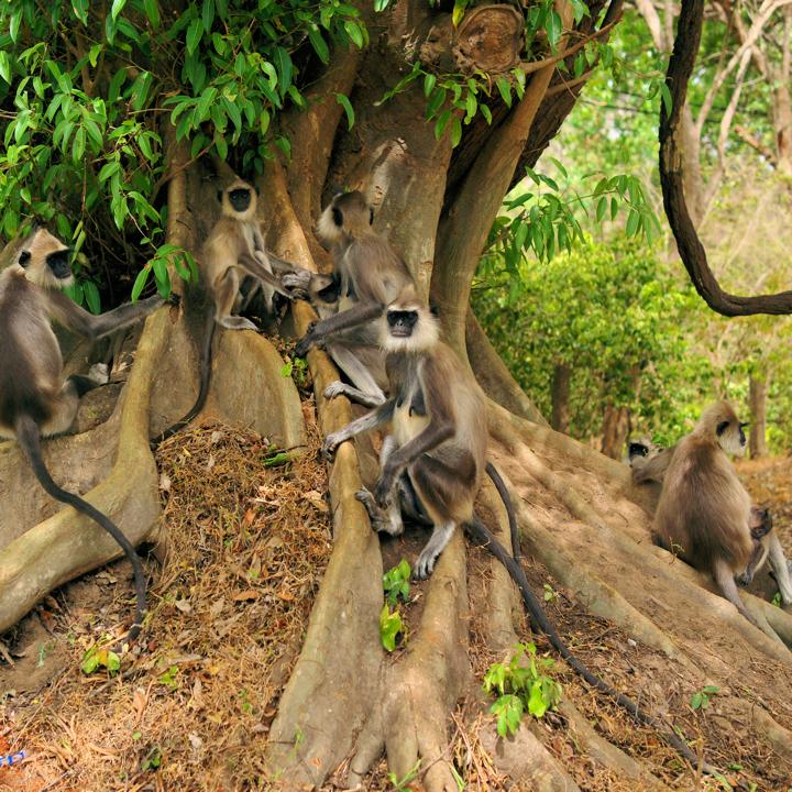 temple-monkeys