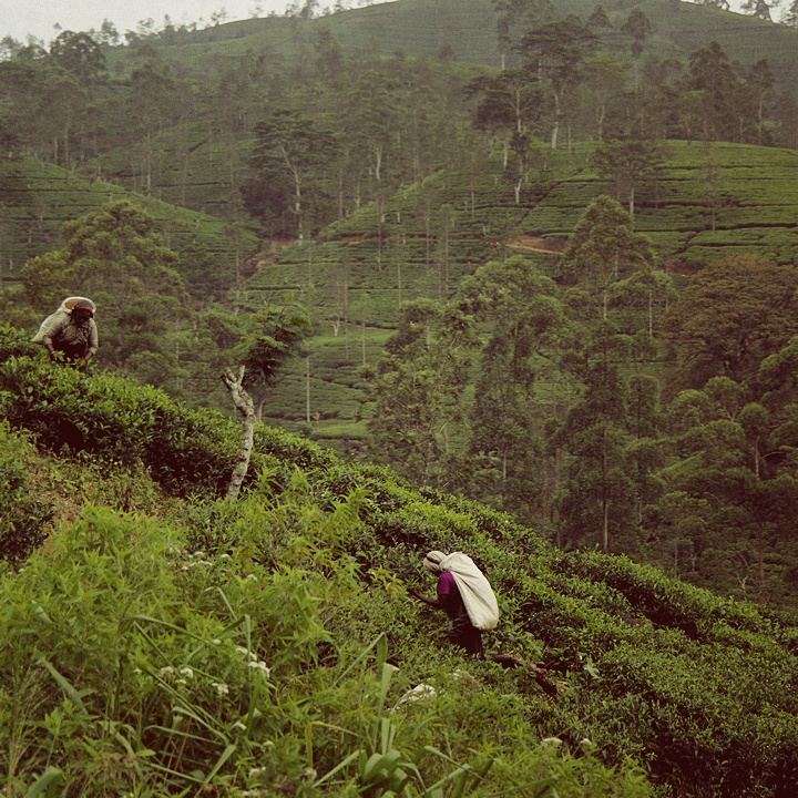 tea-pickers_vintage