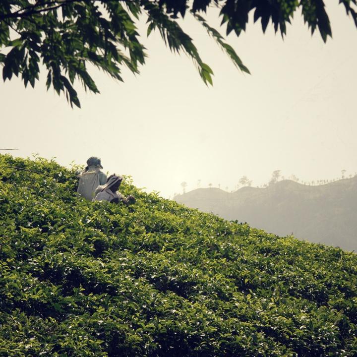 tea-pickers-2_vintage